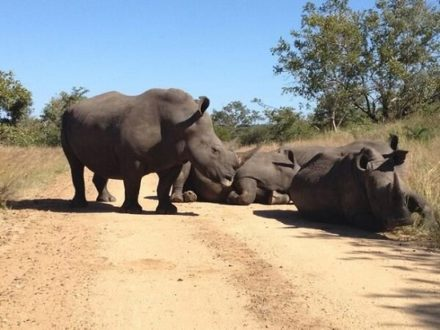 rhino550